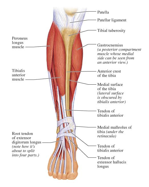 release tibialis anterior and peroneals fascia to relieve pain on, Human Body